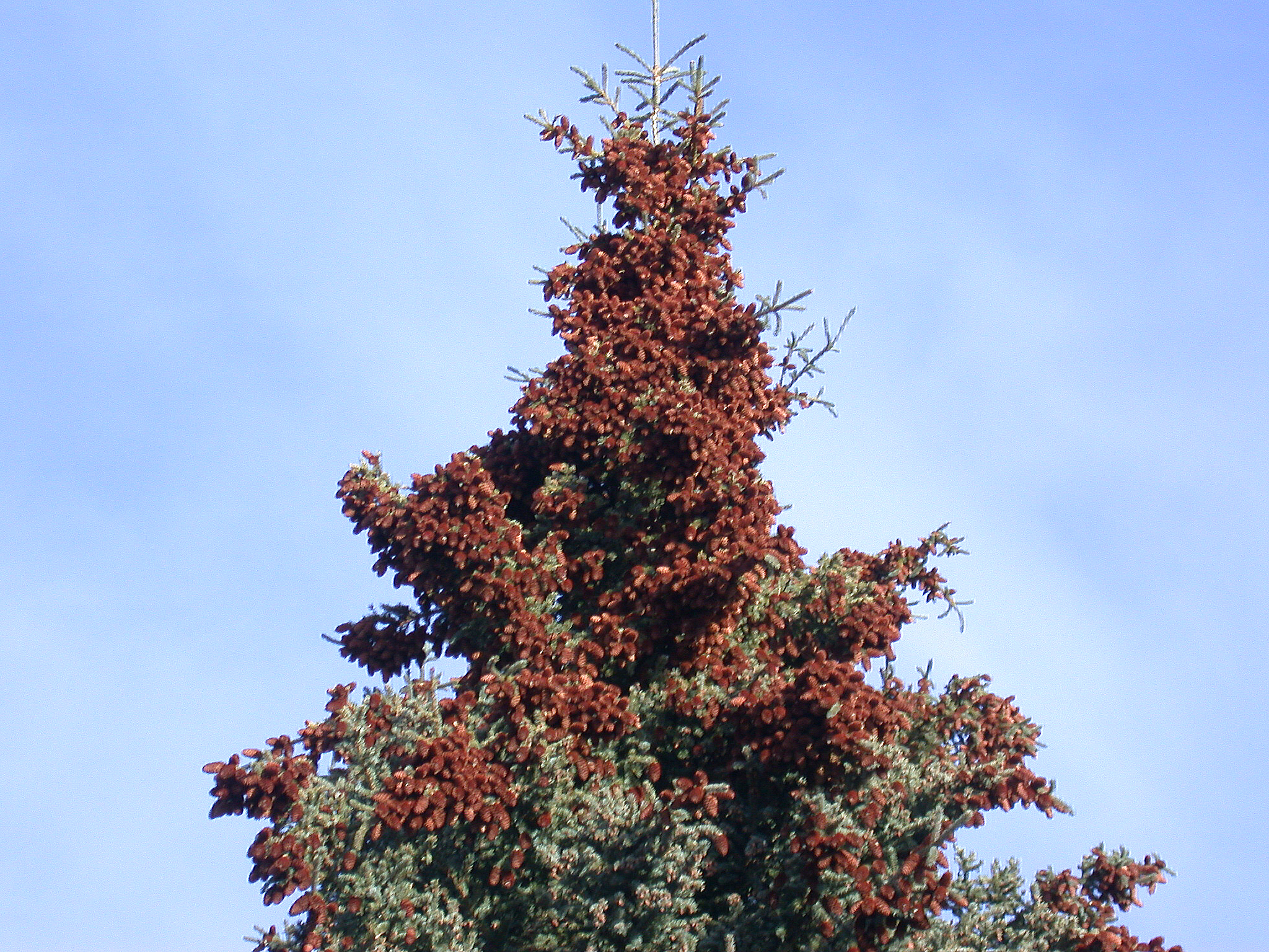 The late-season brown cones of a masting spruce is concentrated in the upper third of the tree. Photo by Jalene LaMontagne
