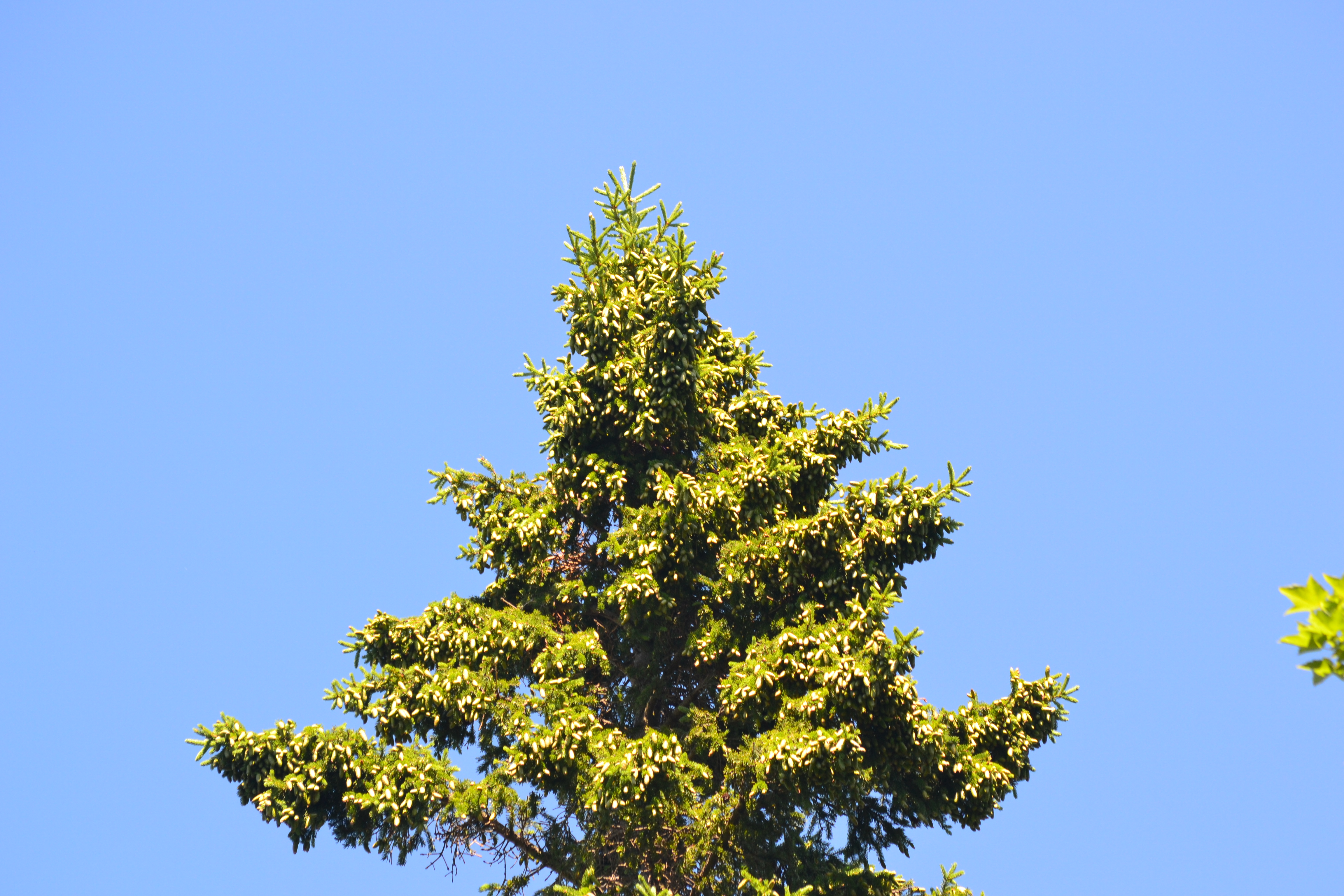 Masting in white spruce begins with a heavy crop of green cones that turn brown later in the year. Photo by Jalene LaMontagne.